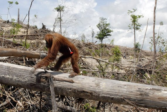 Orangutan-deforestation-for-palm-oil-plantationscenes-from-indonesia18